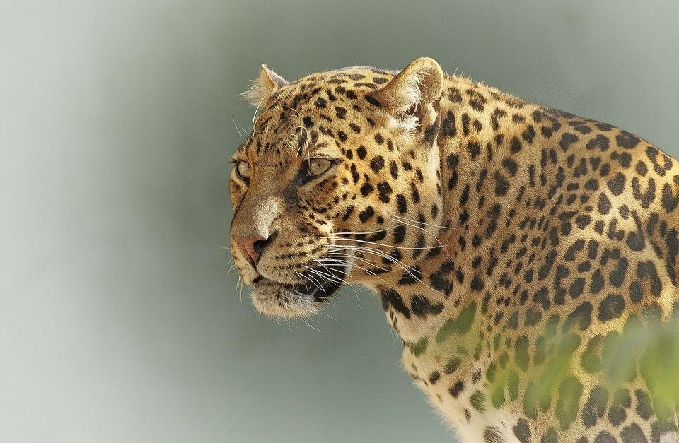 Четырех леопардов в Сочи выпустят в дикую природу