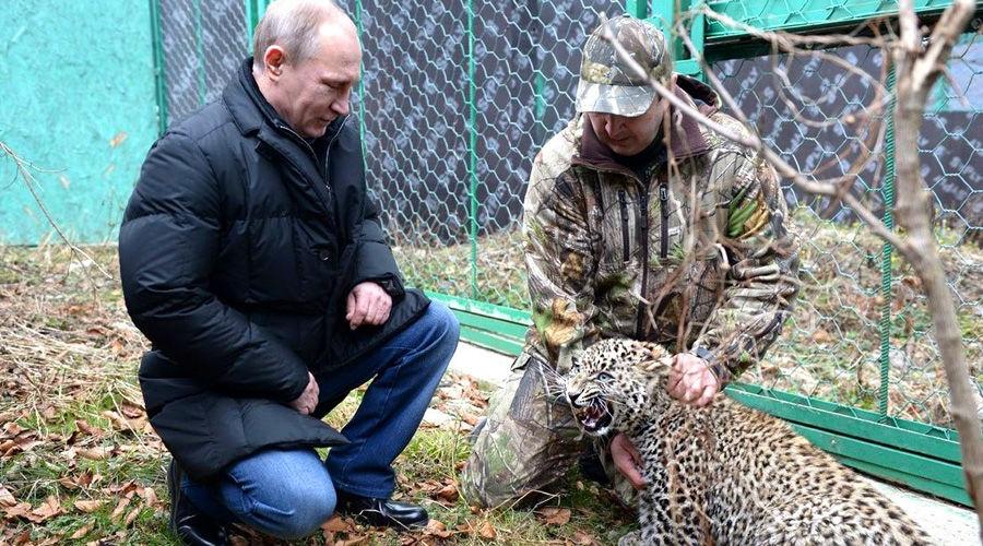 Смерть леопарда Виктории. Что будет дальше с дикими кошками на Северном Кавказе?