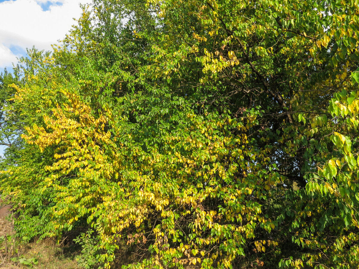 Маклюра: нашёл в лесу редкие и ценные плоды