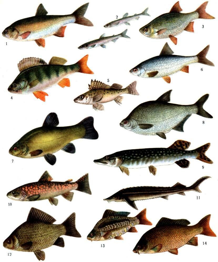 Как черкесы названия различных рыб в переводе на русский